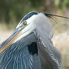 Close up of previous shot of a great blue heron at Lakes Regional Park.