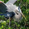 Courtly display- This great blue heron shows off its stately ruff of breeding plumage on Bird Island near Pine Island.