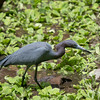 Little Blue Hunter #2- Little blue heron at the Corkscrew Swamp Sanctuary.