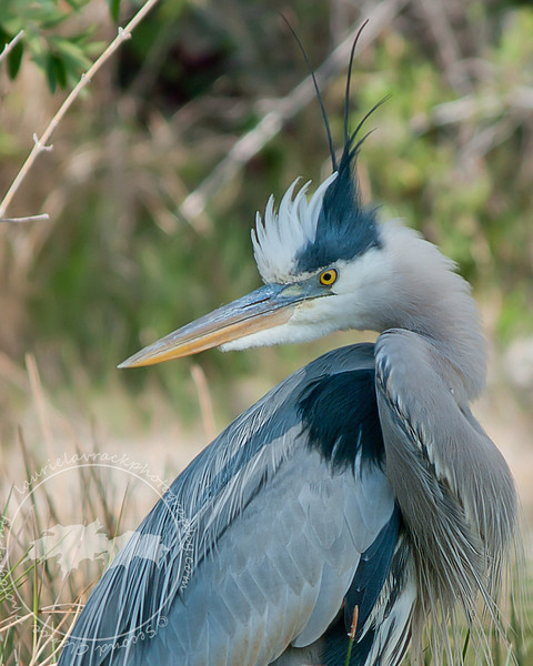 King of the Herons- I have never seen a great blue heron with its crown of feathers up before. They were only up long enough for me to get this shot at Lakes Regional Park.