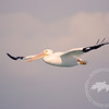 Airborne-White pelican in flight over the Caloosahatchee River.