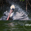 Bathtime at Matlacha- This photo of a brown pelican was featured on the cover of the News-Press Tropicalia March 20, 2011.