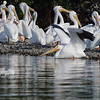 A flock of white pelicans near Sanibel Island