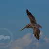 Solo Hunter-Juvenile brown pelican near Sanibel Island