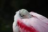 Roseate spoonbill, at rest  Orlando, FL