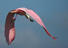I'm outta here! Roseate Spoonbill near the Six Mile Cypress Slough in Fort Myers.