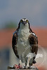 Sushi Lunch-Osprey with prey in the Tarpon Bay Preserve.