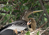 Anhinga parent with chick, Venice Rookery, FL