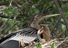 Anhinga parent with chick, Venice Rookery, FL