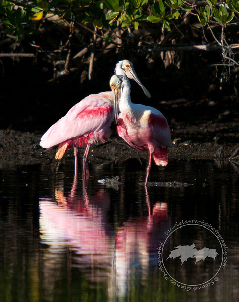 Love Birds- Two adult roseate spoonbills show their affection for one another at the Ding Darling Wildlife Refuge on Sanibel Island.