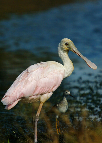 Juvenile Roseate Spoonbill near the Twins Stadium in Fort Myers.