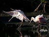 Trying out a new pair of wings- This juvenile roseate spoonbill flexes its wings as an adult roseate looks on at Ding Darling Refuge on Sanibel Island.