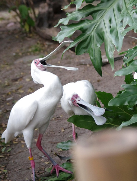 These spoonbills appear to be laughing at a joke in Orlando, FL