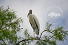 Wood stork at the Corkscrew Swamp Sanctuary.