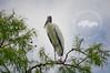 Wood stork at the Corkscrew Swamp Sanctuary.