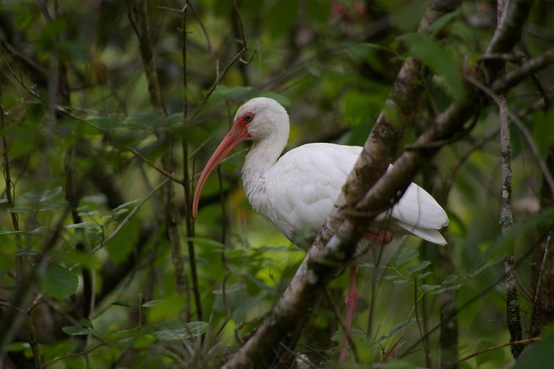 White Ibis at Corkscrew Swamp Sanctuary.