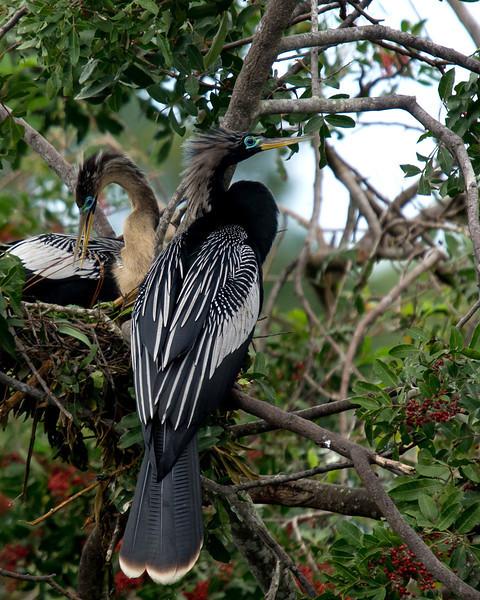 Anhinga pair, Venice Rookery, FL