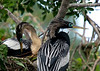 Mating pair of Anhingas at the Venice Rookery