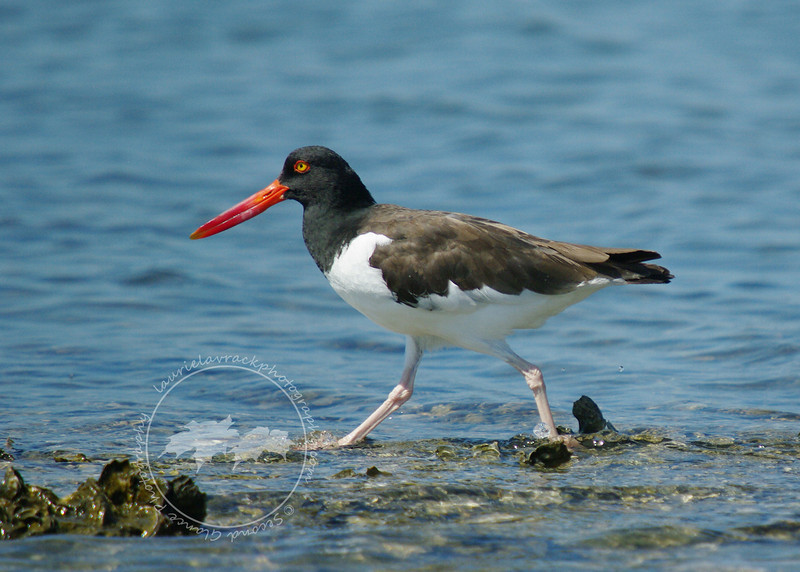 Oyster catcher in the Tarpon Bay Preserve.