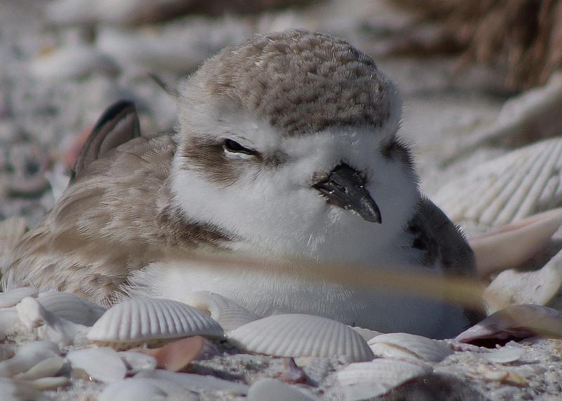 Snowy plover Sanibel Island, FL Jan 2015