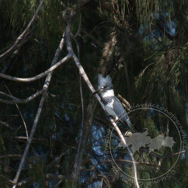 Tiny Fisher- Kingfisher at Lakes Regional Park.