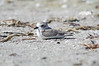"Snowy plover on Sanibel Island. This tiny shore bird stands about 6"" tall and is an endangered bird."