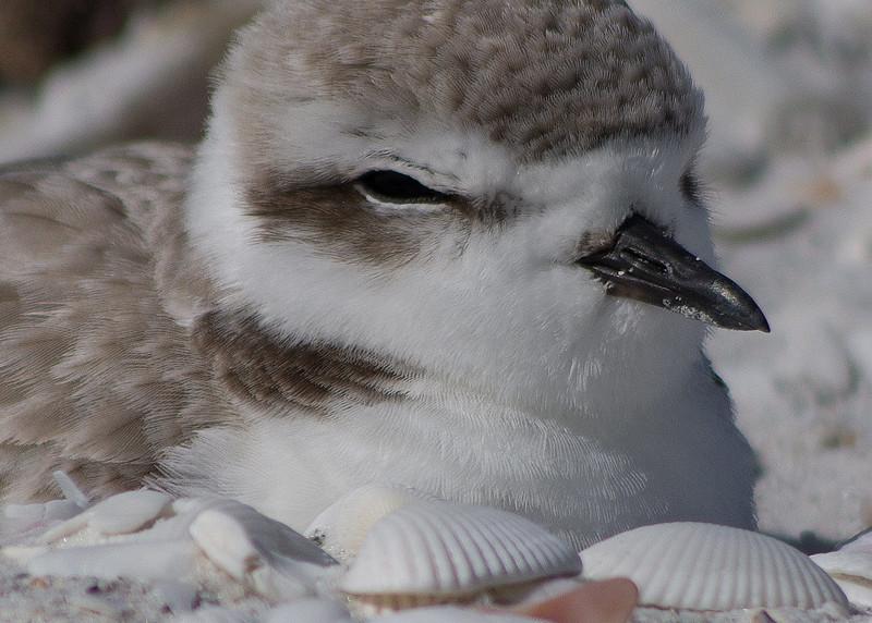 Snowy plover, Sanibel Island, FL Jan 2015