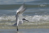 Coming in for a Landing #1-Sandwich Tern on Sanibel Island.