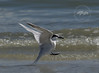 Coming in for a Landing #2-Sandwich Tern on Sanibel Island.