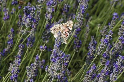 Moth on lavender