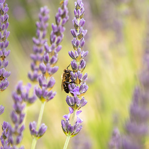 Bee-ing lavender