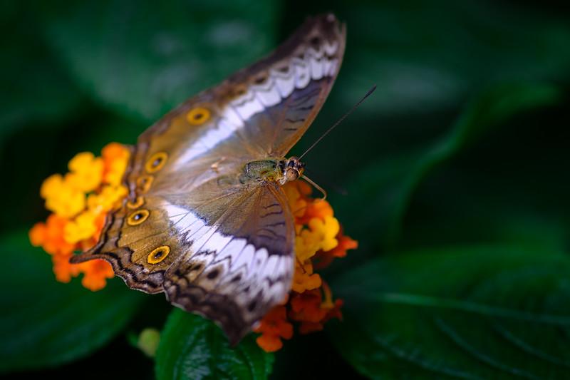 butterfly breakfast ii