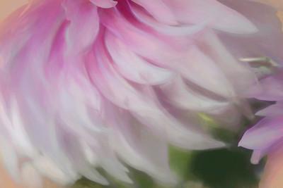Pink Dahlia IMpression