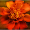 1607Marigold_028opTx710