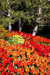 Tulips on Shepherd's Hill, Thanksgiving Point, Lehi, Utah