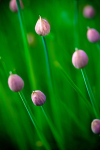 Chive Flowers (3 of 3)