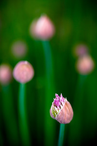 Chive Flowers (2 of 3)