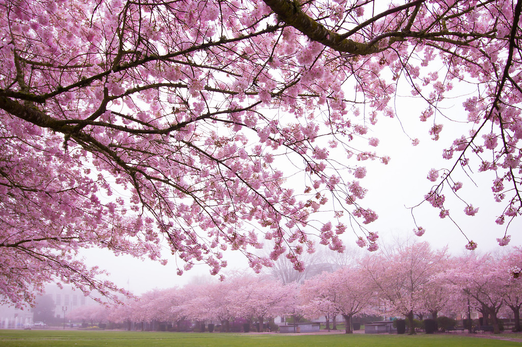 Under the cherry blossom tree