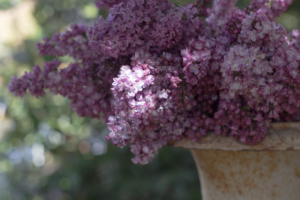 Lilac in vintage urn