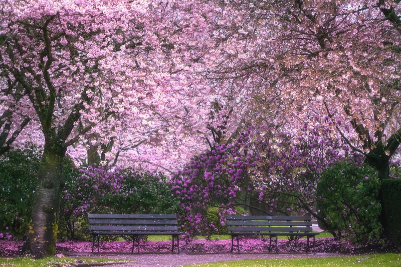 Azaleas & Cherry Blossoms