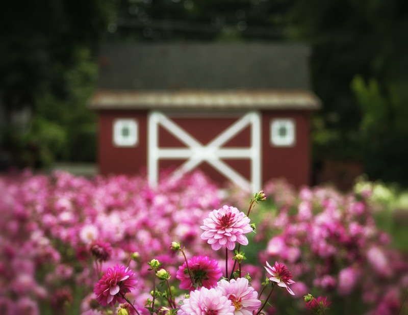 Little red barn in the dahlias