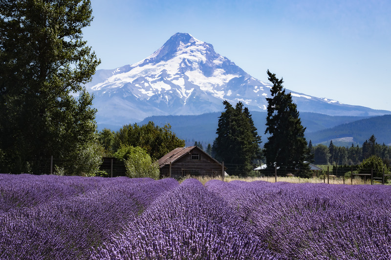 Mount Hood Lavender.