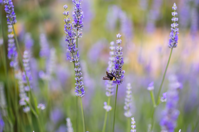 French lavender & bumble bee 1