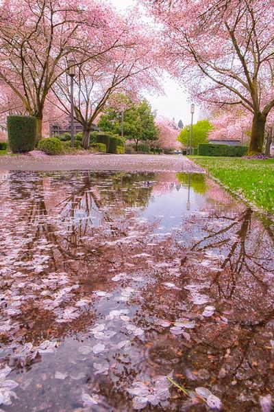 Cherry Blossom Reflections