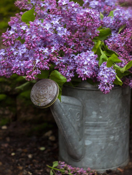 Lilac bouquet in watering can