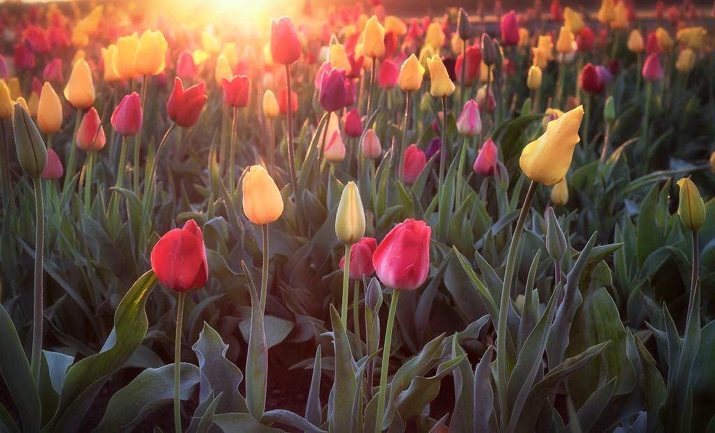 Sunrise in the tulips