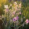 Cranesbill geraniums(Alexa)