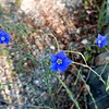 Blue flax (Alexa)