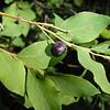 Common Huckleberry - Vaccinium membranaceum