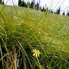 Mountain dandelion-Alexis